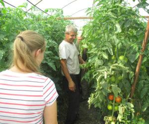 Tomaten-Plantage-Moldawien